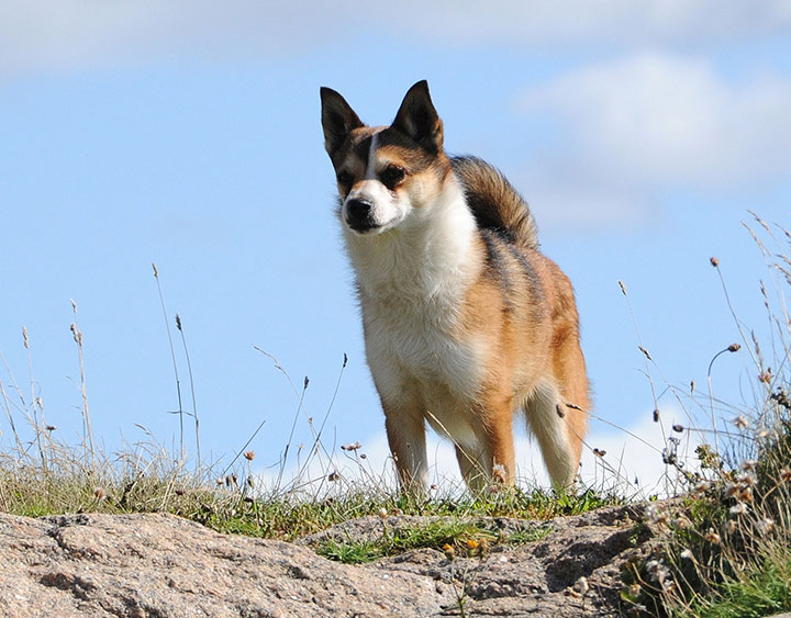 World's Rarest Breeds Of Dogs You Probably Wouldn't Even Have Heard About Them!